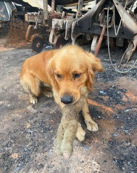Dog finds his toy in the rubble of the Australian bushfire