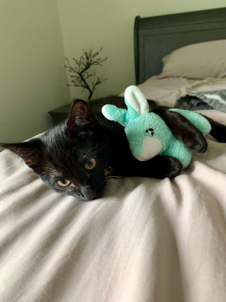 cat carries blanket around