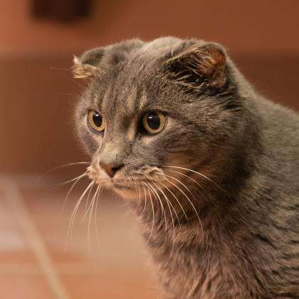 cat with no ears