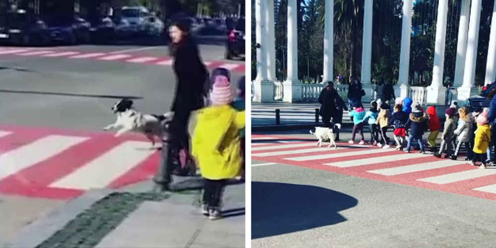 Dog Stops Traffic So Group Of Kids Can Safely Cross The Street