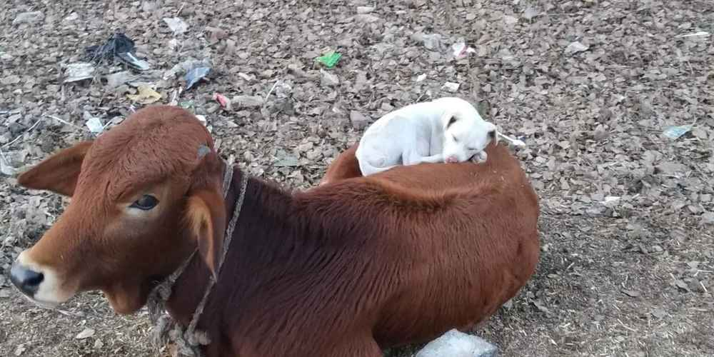 Dog Sees Cow Taking A Nap And Decides To Join In