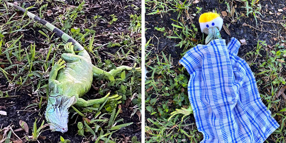 Nice Lady Gives Little Blanket And Beanie To Iguana Stunned By Cold Snap