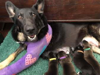 Marley the German shepherd and her puppies