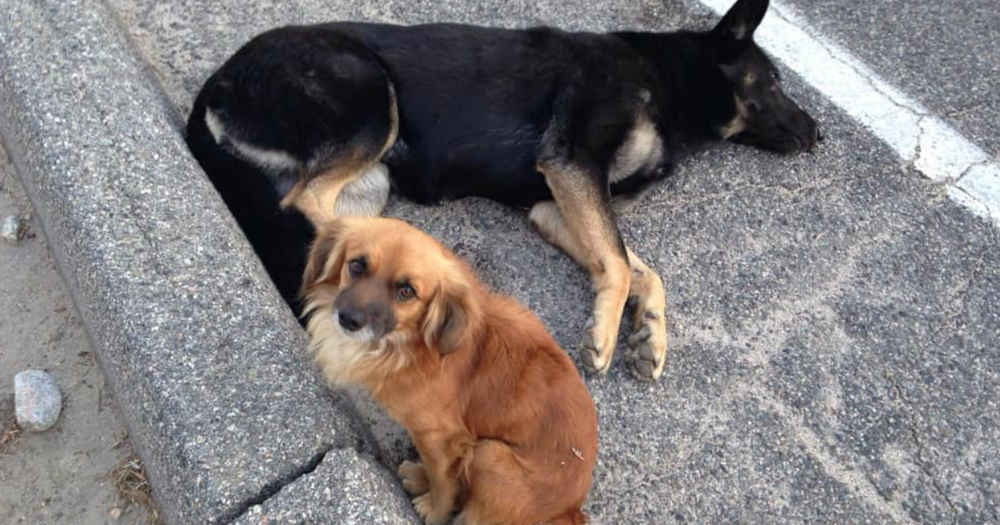Dog Guards His Pregnant Friend Until Help Arrives