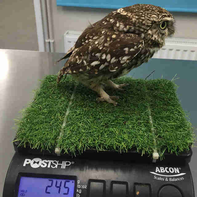 A sanctuary weighs a fat little owl