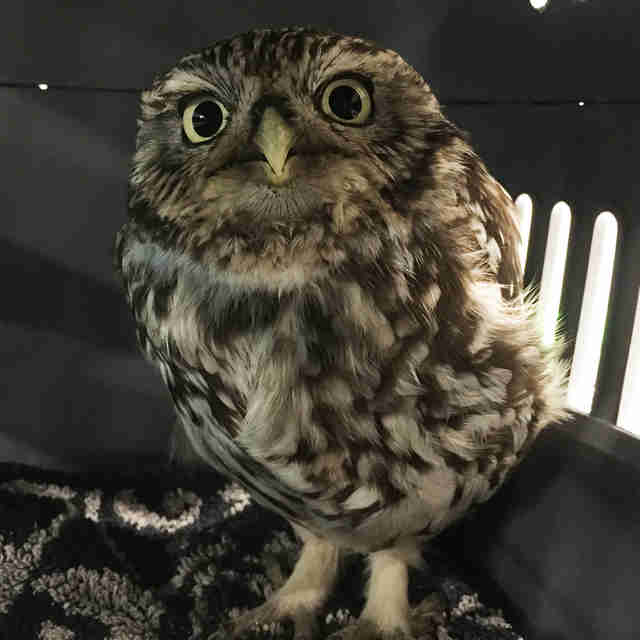 An obese little owl at a sanctuary in England