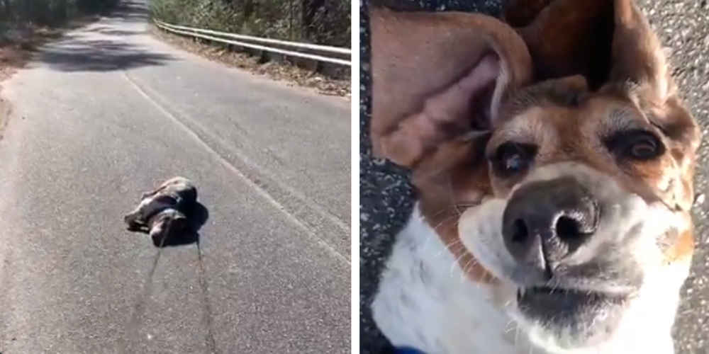 Chubby Dog Gives Up On Exercise In The Middle Of Walk