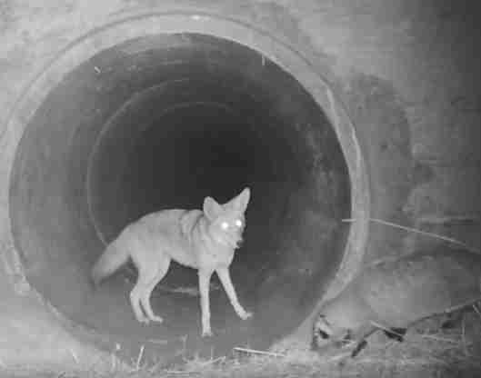 Coyote and badger travel together in California