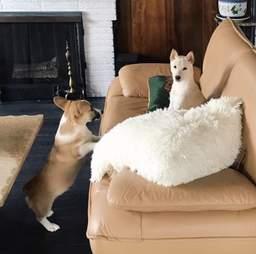 corgi couch