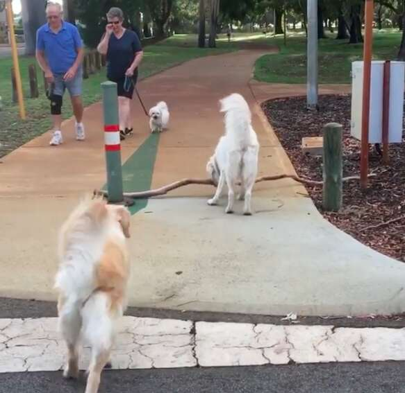Dog helps her daughter carry a big stick