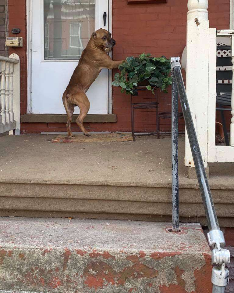 Cupid, an abandoned pit bull, asks to be let inside