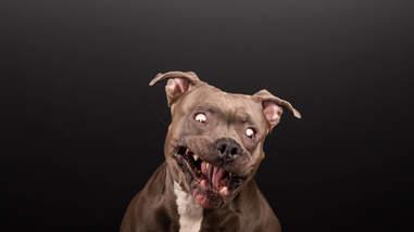 pit bull photo shoot