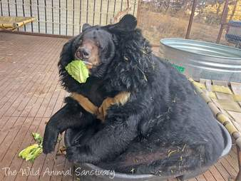 Overweight bear saved from roadside zoo