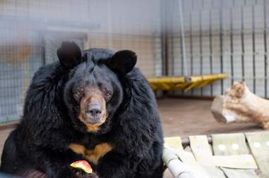 Dillan the obese Asiatic bear after his rescue