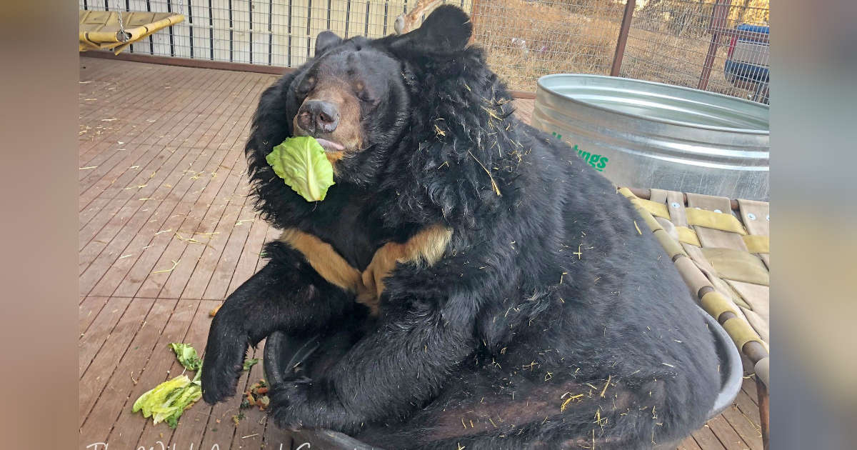 Overweight Bear Is Less Than Thrilled With His New Diet
