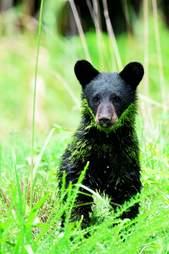 A young black bear in North Carolina