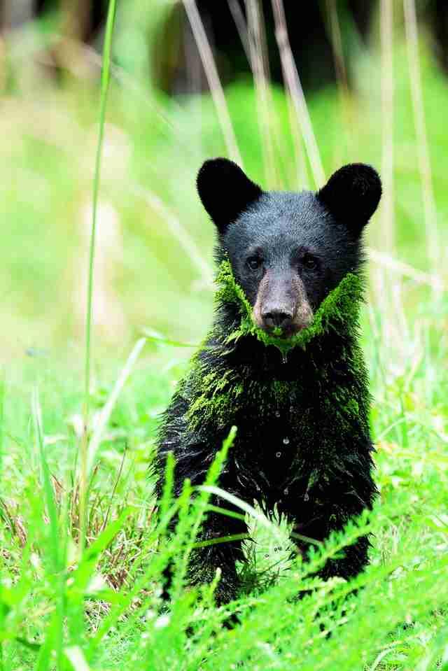 young black bears in North Carolina