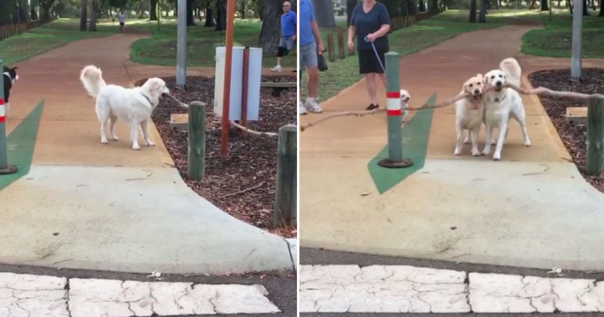 Dog Mom Runs To Help Her Daughter Move A Giant Stick