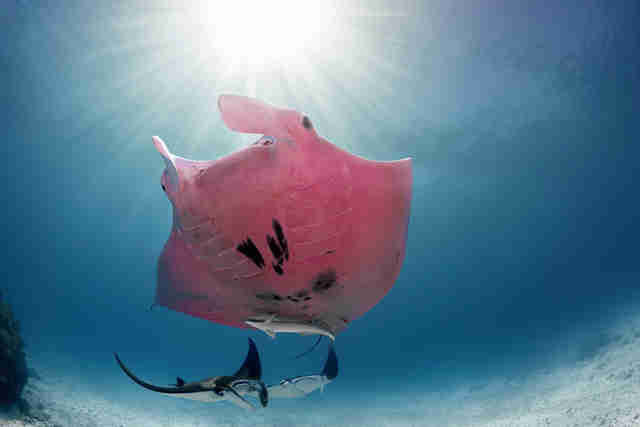 Pink manta ray spotted off Lady Elliot Island