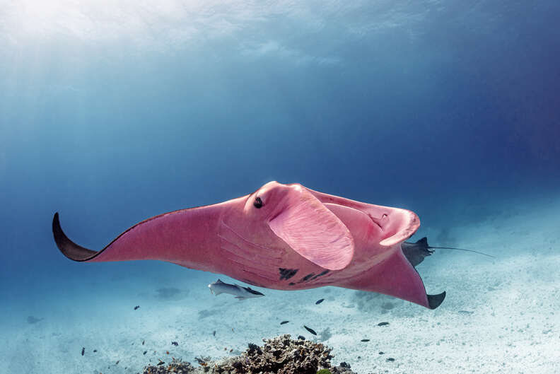 Pink manta ray spotted in Australia