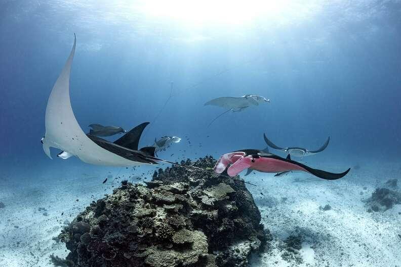 Pink manta ray pursuing a mate