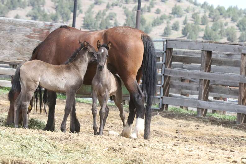 Wild horse and her twin babies at Oregon sanctuary