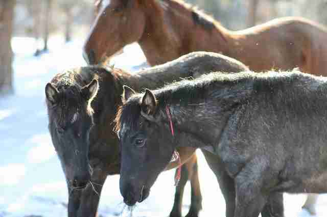 Elsa the horse and her twin foals
