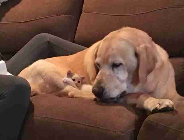 Kitten and her Labrador dad sleep together on the couch