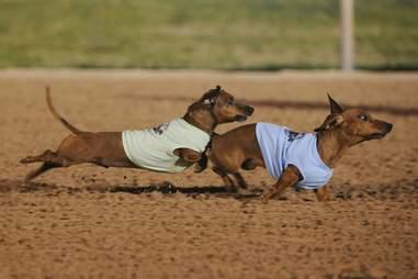 Sam Houston Dog Race