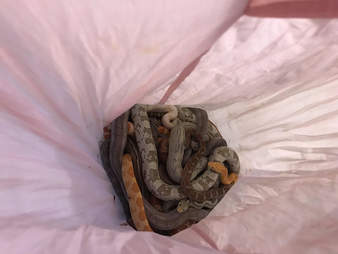 snakes found in pillowcases