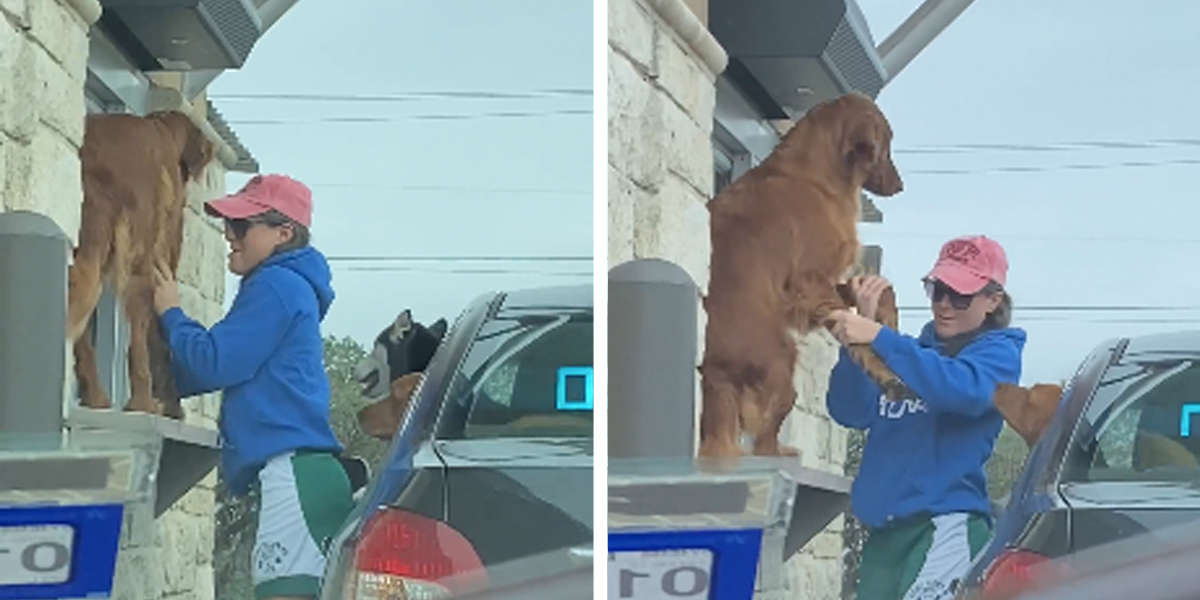 Impatient Dog Causes Adorable Scene In A Starbucks Drive-Thru