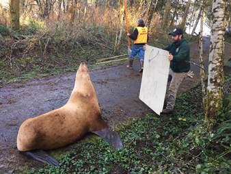 lost sea lion