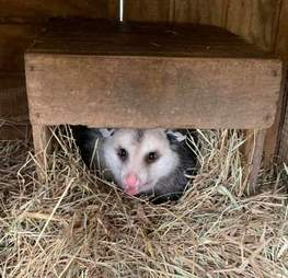 A full-grown possum at a Mississippi rescue