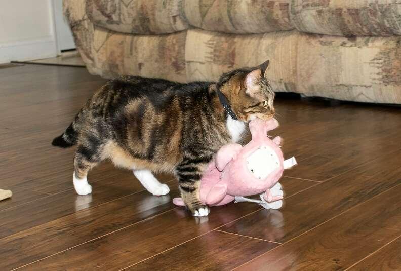 cat carries stuffed pig