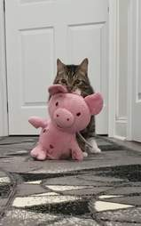 cat carries stuffed pig
