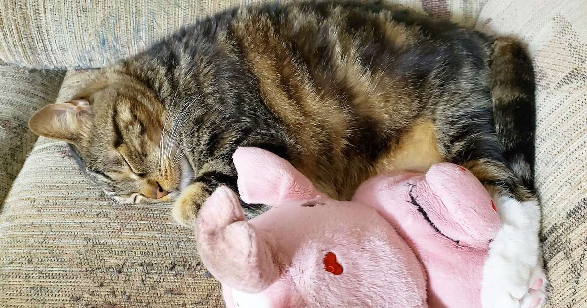 Cat Carries His Favorite Stuffed Pig Everywhere He Goes