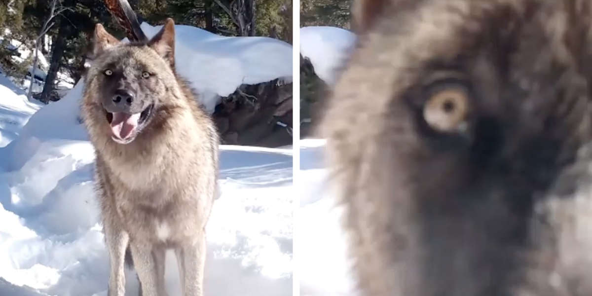 Pack Of Photogenic Wolves Finds A Camera In The Forest