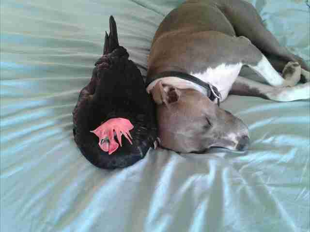 pit bull and blind chicken