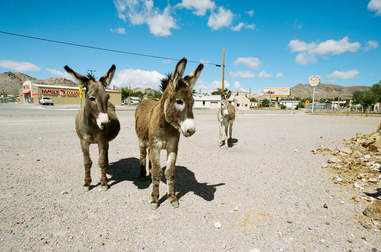 Burros walk through downtown Beatty