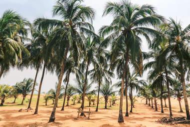 Palm trees on a Lome beach