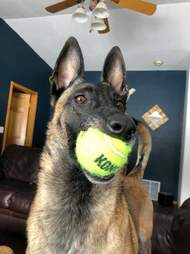 Dog plays with 400 tennis balls