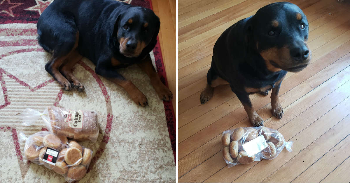Dog Finds And Guards Family's Bread Whenever They Leave The House