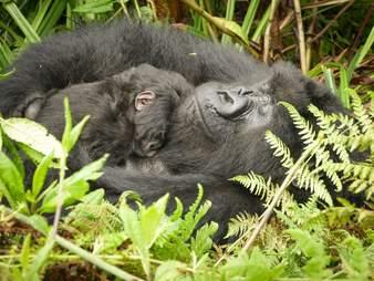 Mountain gorilla Gutangara relaxes with her baby