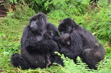 Mountain gorillas nurse their babies