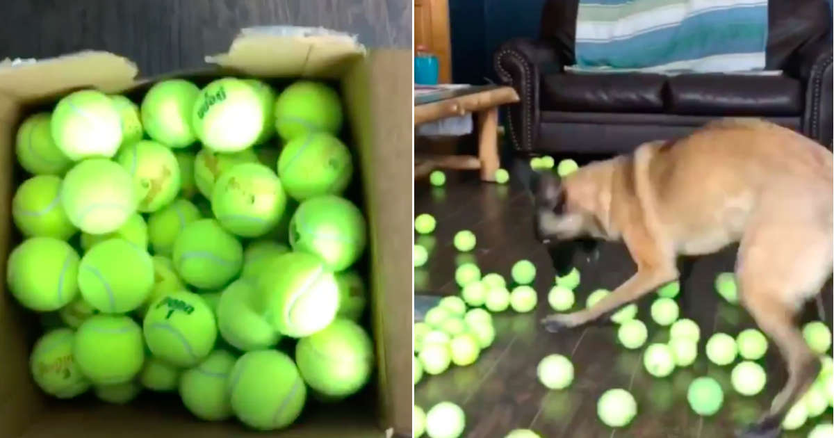 Dog Freaks Out When He Gets 400 Tennis Balls For His Birthday
