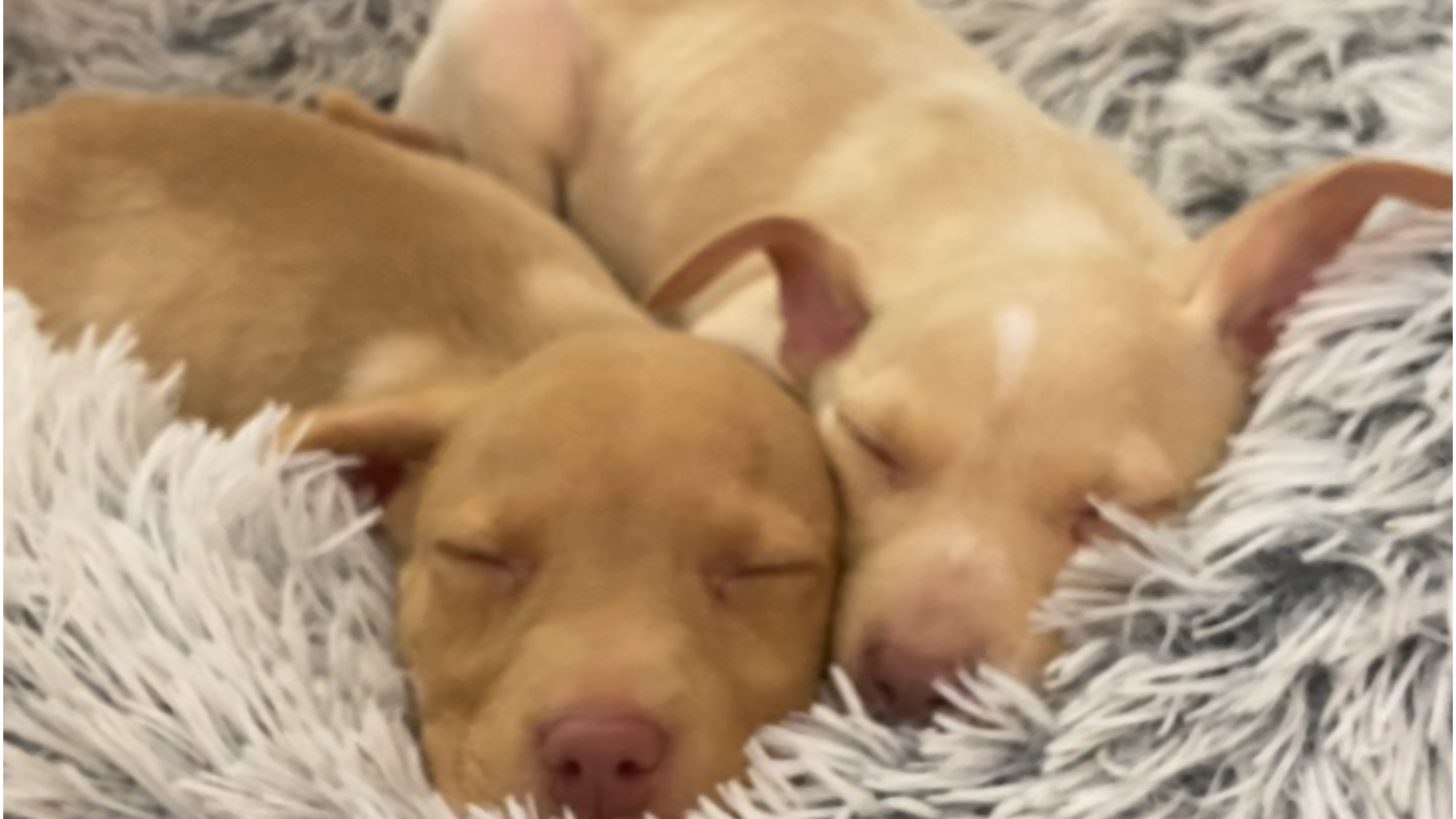 Just Two Very Cute Puppies Sleeping Videos The Dodo