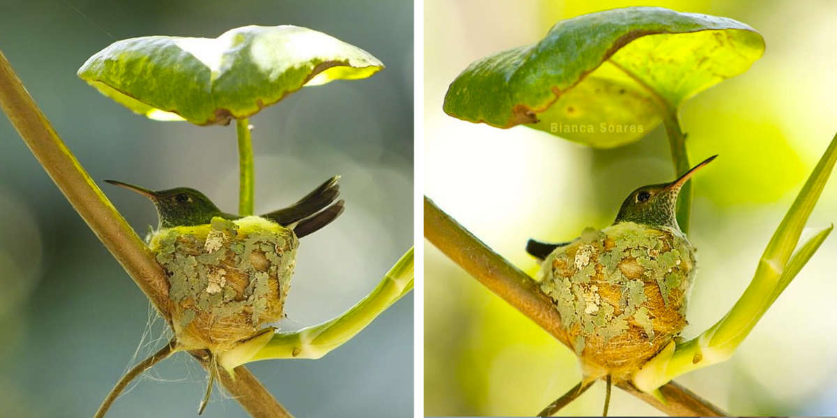 Clever Little Hummingbird Builds A Home With A Roof