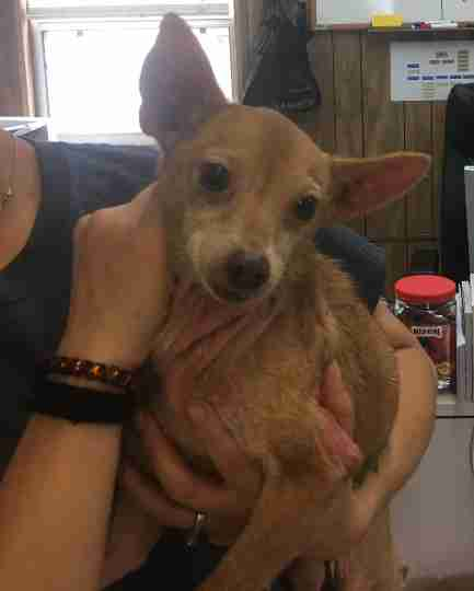 Lost tan male Chihuahua finds his home
