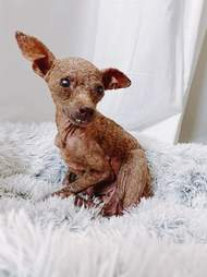 Blondie, the hairless stray dog at the rescue