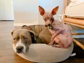 Blondie the hairless Chihuahua snuggles up to pit bull